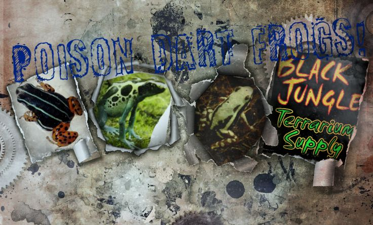 Poison Dart Frogs For Sale