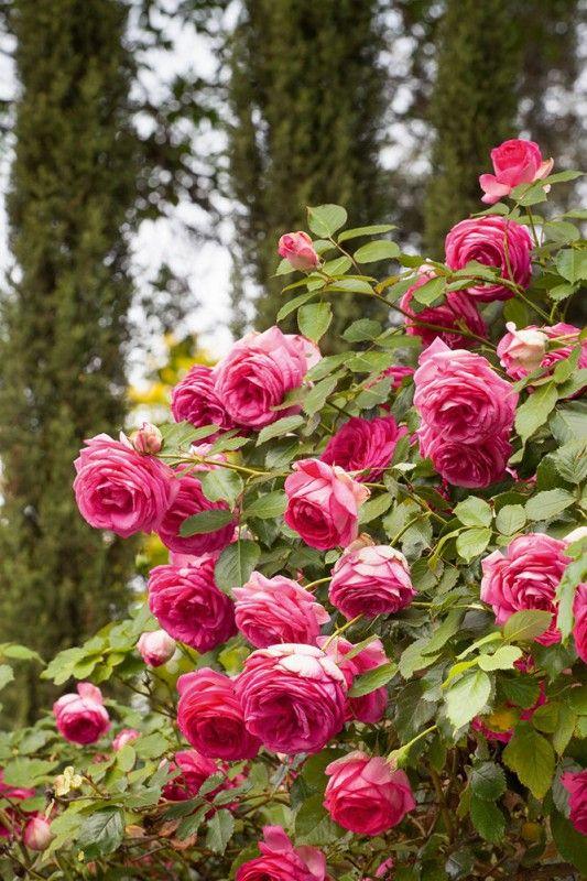 rosier grimpant cyclamen pierre de ronsard margaret mae jardins pinterest rosier pierre. Black Bedroom Furniture Sets. Home Design Ideas