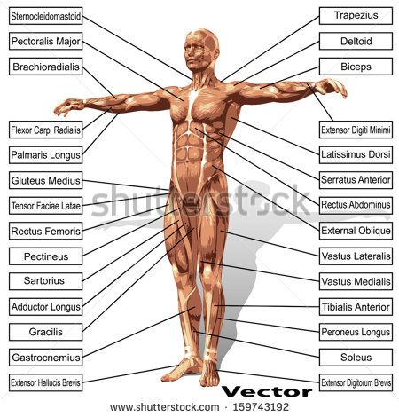 Vector concept or conceptual 3D human anatomy and muscle isolated on white background as a metaphor to body,tendon,spine,fit,builder,strong,biological,skinless,shape,posture,health or medical