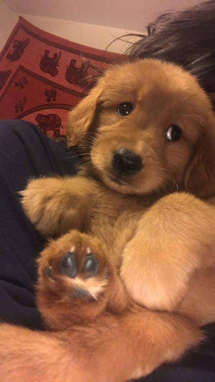 My Baby Looked Like This Goldenretriever Goldenretriever