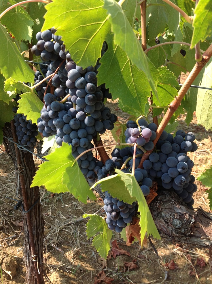 #grape #harvest in #Umbria starts in late August until October for some local varieties like Sagrantino