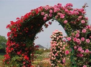 Вьющиеся розы хорошо будут расти на солнечном, защищенном от ветра месте