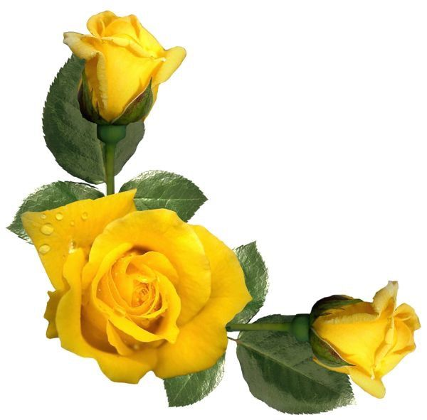 I Have Fallen Asleep In A Rose A Sunshine Colored Paradise Yellow Roses Yellow Aesthetic Flowers