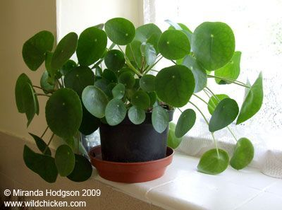 Pilea peperomioides - what a cool looking plant! likes low light and moist soil, but is also fast growing so it would need to be trimmed #terrarium