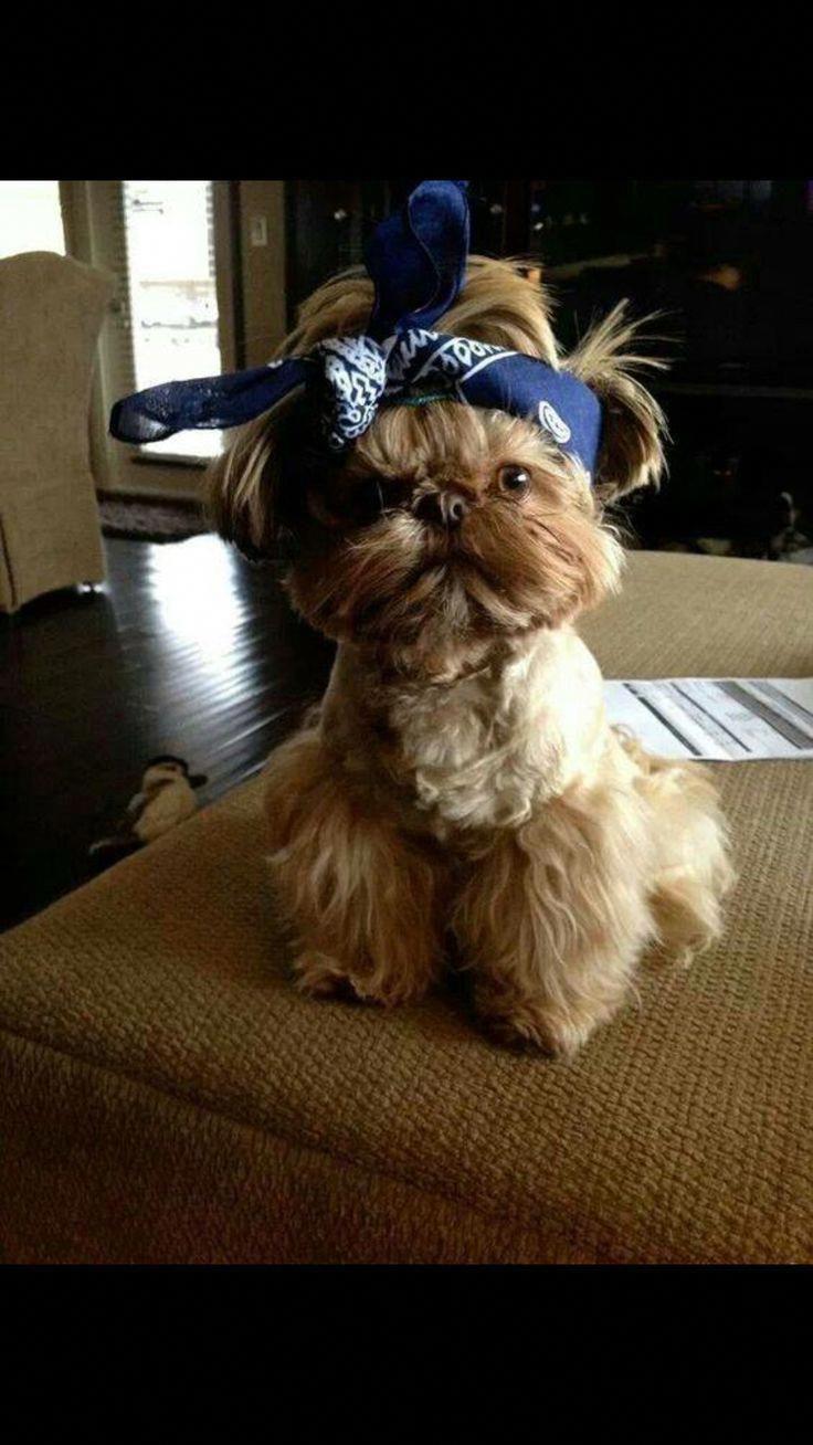 Shih Tzu Affectionate And Playful Shih Tzu Puppy Shih Tzu Dog Shih Tzu Funny