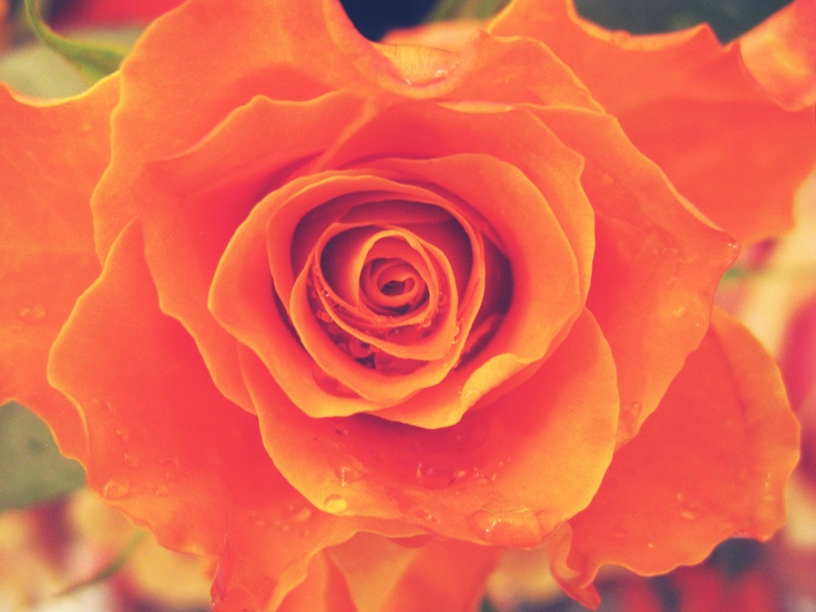Rose in Rome.