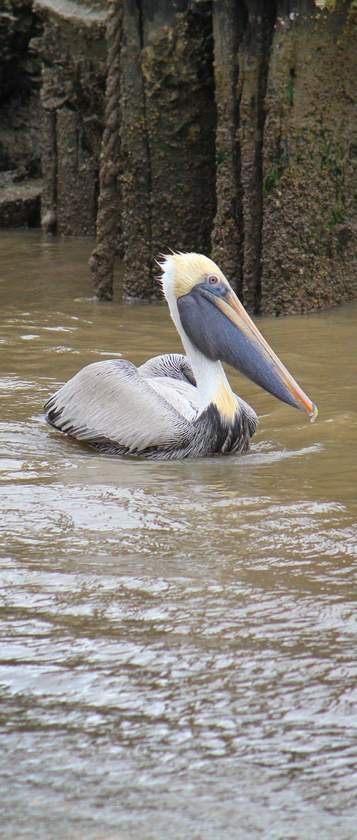 229 best pelicans images on pinterest animals beautiful birds