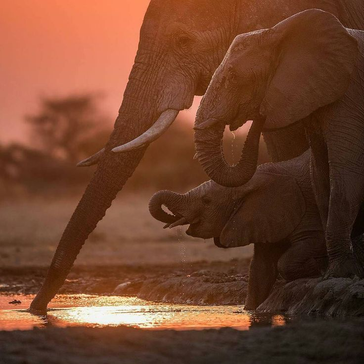 great photo beautiful creatures. .!! Credit : @ingwe911 - My Favorite Images of 2017...Kalahari Light and Elephants For info about promoting your elephant art or crafts send me a direct message @elephant.gifts or emailelephantgifts@outlook.com . Follow @elephant.gifts for inspiring elephant images and videos every day! . . #elephant #elephants #elephantlove
