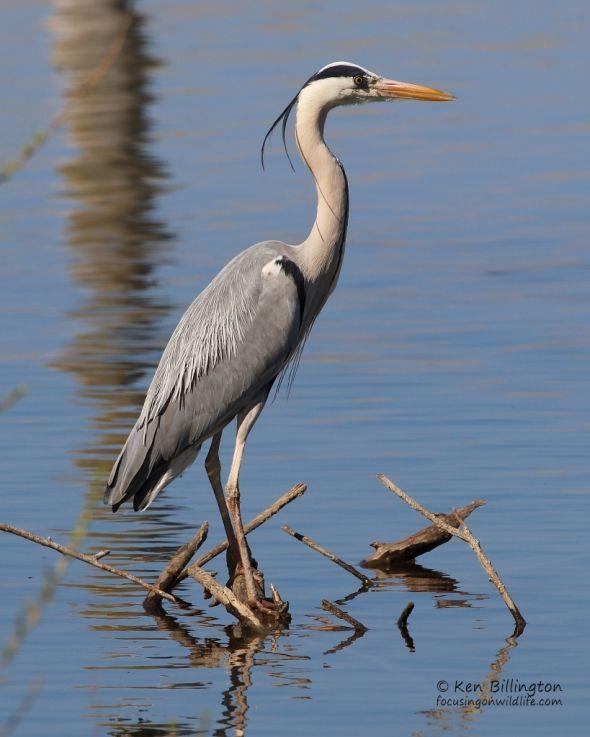 Best 25 Grey Heron Ideas Only On Pinterest Herons Heron And