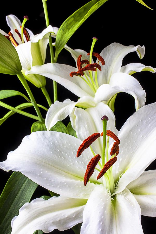 Three White Lilies (By Garry Gay)