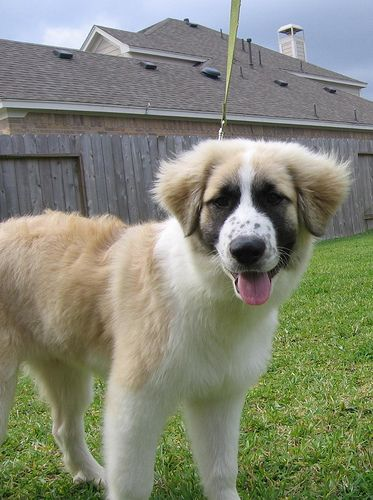 Our Great Pyrenees Anatolian Shepherd Mix Puppy at 4 months