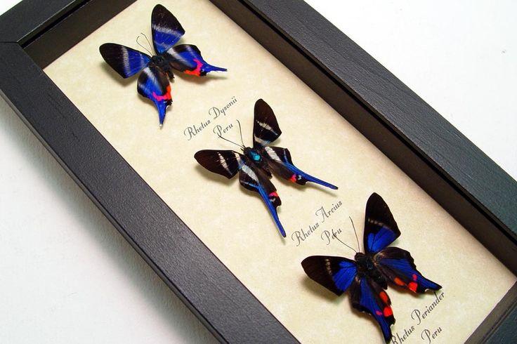 Real Framed Butterflies 3 Sapphire Blue Rhetus Set 1065. $79.99, via Etsy.