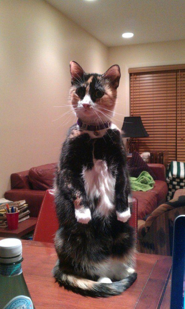 Эволюция котиков: прямоходячие   Смешные фото кошек ...