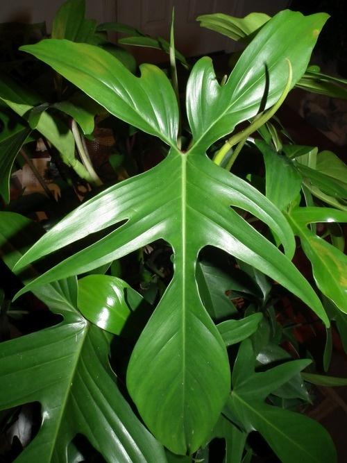 79 besten green philodendron bilder auf pinterest for Green pflanzen
