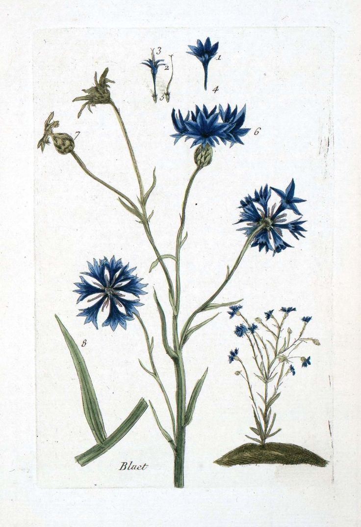 Cornflower botanical print - Read more about the herbal skincare properties of cornflower at www.herbhedgerow.co.uk