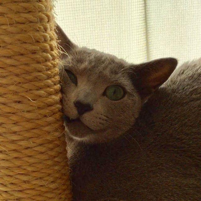 ・ Wow, what a funny face😖 ・ 와~ 재미있는 표정이네😖 ・ Good morning😃 안녕하세요😃 ・ おはようございます😃 うわぁ〜変な顔だねぇ😖 暫くこのままで固まってましたよ💦 ・ やっぱり吏音は3枚目キャラだわ😆 ・ #ロシアンブルー #russianblue #pet #pets #ペット #猫 #cat #cats #Kitten #子猫 #cute #可愛い #愛猫 #러시안블루