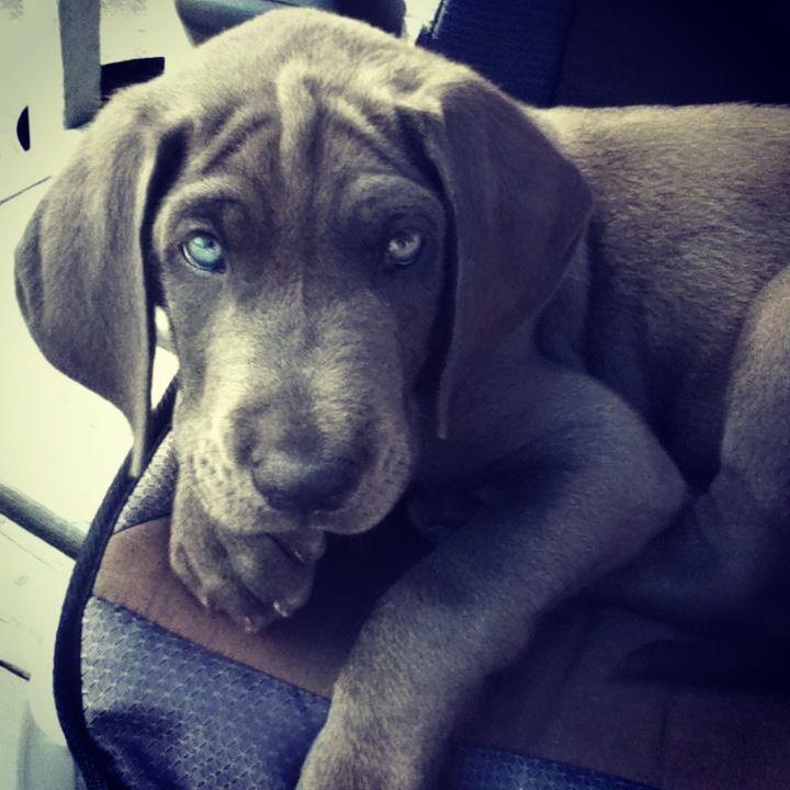blue Great Dane puppy | Cuties | Pinterest