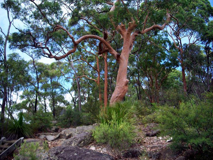 Angophora costata (Sydney Red Gum)