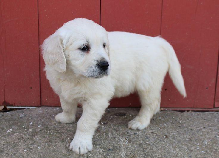 Duke male akc golden retriever puppy for sale in st joe
