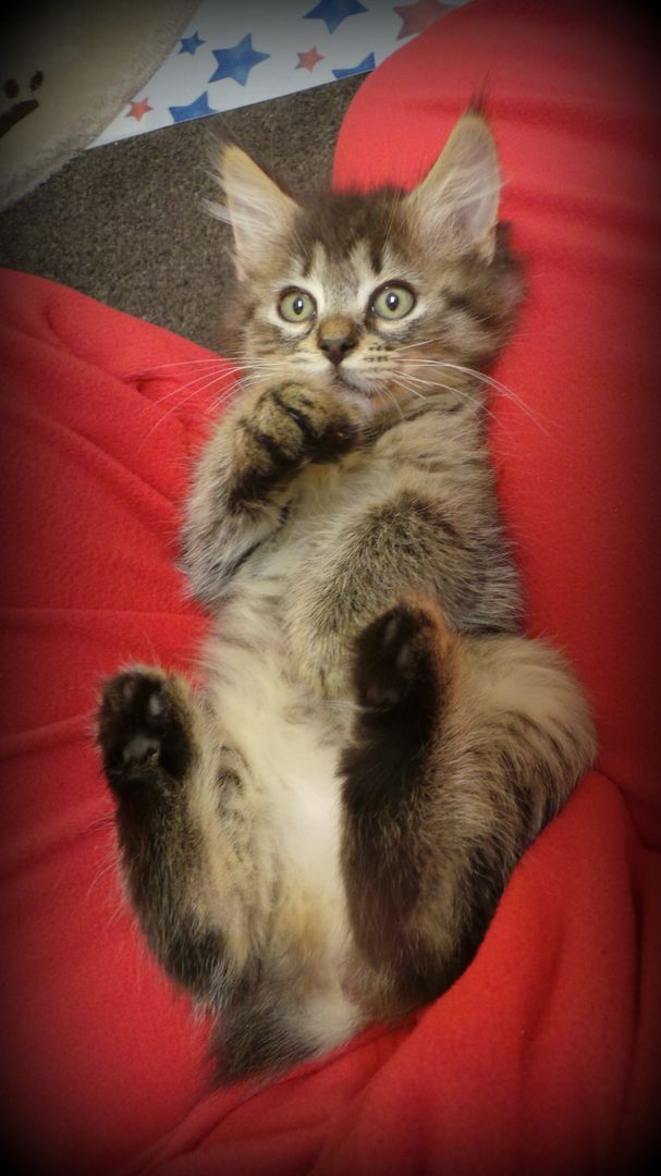 I remember when she was this little. The Pixie Bob Cat - Pixie Bob Gallery II