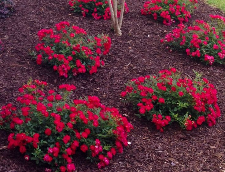 drift roses | Perfect Plants