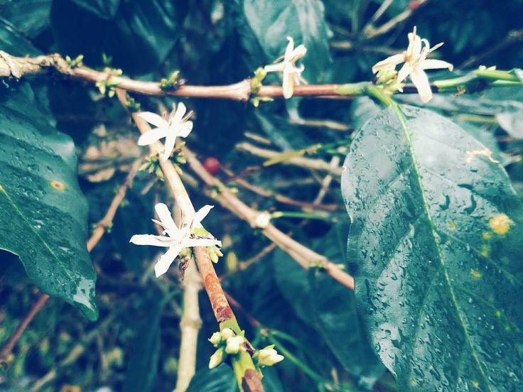 Kabar dari kebun: bunga kopi tahun ini hanya berkembang sekitar 35%. Kabar buruk buat ibu bapak petani dan konsumen penyesap kopi.  Perubahan iklim sudah dan akan terus memakan korban dalam perkopian. Kalau petani gampang: jika produksimu menurun penghidupanmu kemungkinan besar akan berkurang. Biang keroknya memang curah hujan yang kacau temperatur yang meningkat dus kendali hama semakin sulit. Ini yang berujung buruk pada volume dan kualitas produksi kopi.  Mungkin tahun lalu Lampung…