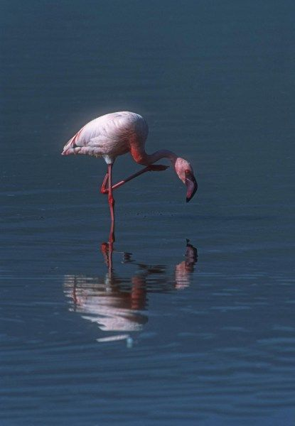 Lesser Flamingo Stands on One Leg in Lake Manyara Africa. With striking pink plumage it stands in contrast to the blue of the lake