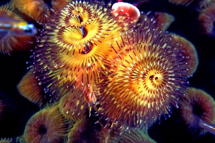 Have You Seen A Christmas Tree Worm In The Ocean Underwater Life Tree Christmas Tree