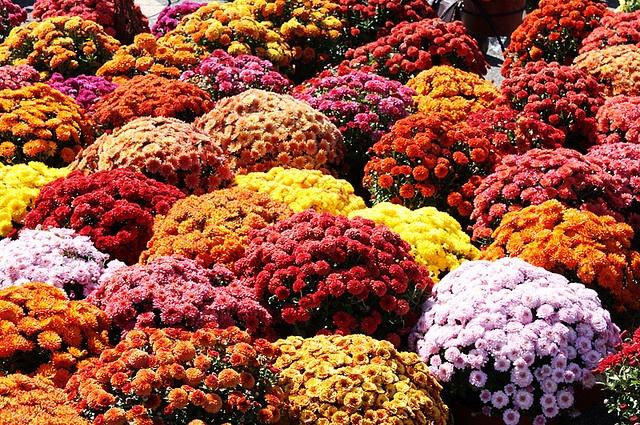 Fall Mums Gardening & Flowers
