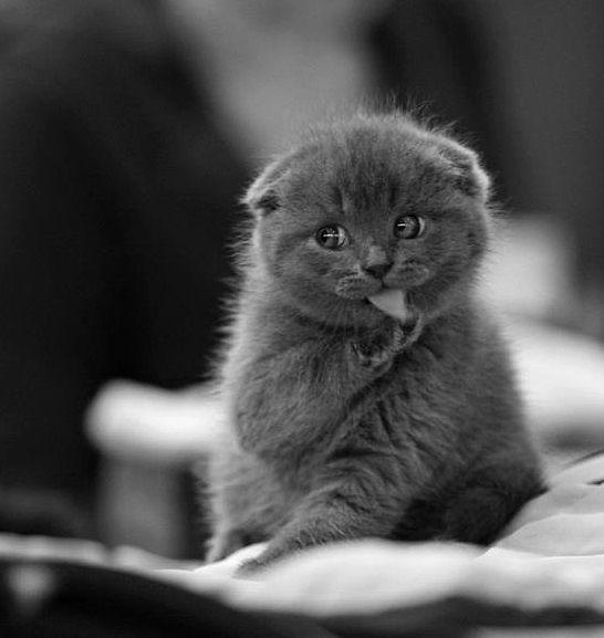 scottish fold kitten <3 I want this kitty!!