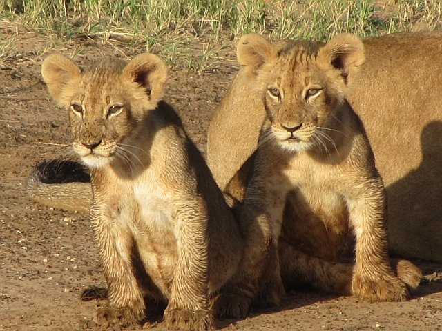 Baby lion cubs in Phinda Game Reserve, South Africa. Jan 2012.