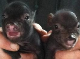 Teacup pig for sale in maryland