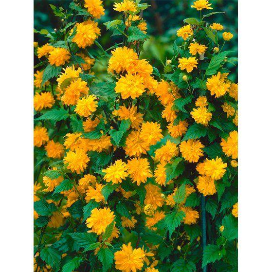 """Ranunkelstrauch """"Pleniflora"""" Gelb Höhe 50 - 60 cm Topf ca. 3 l Kerria japonica"""