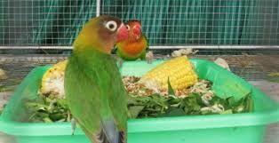 Berkicau Mania: Tips Perawatan Sederhana Burung Lovebird Indukan Y...
