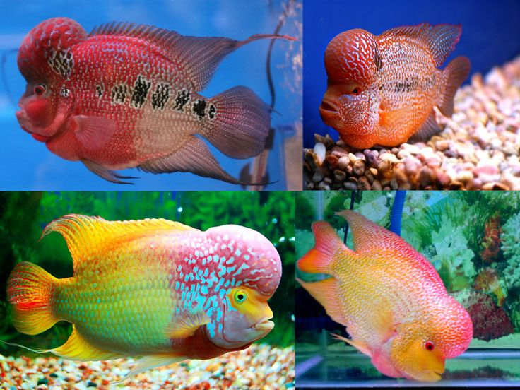 Flowerhorn cichlid top 10 most colorful freshwater fish for Coolest freshwater fish