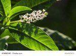 Kermesbeere - Phytolacca americana