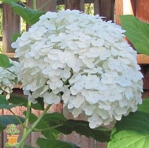 Incrediball Hydrangea for Sale | The Planting Tree