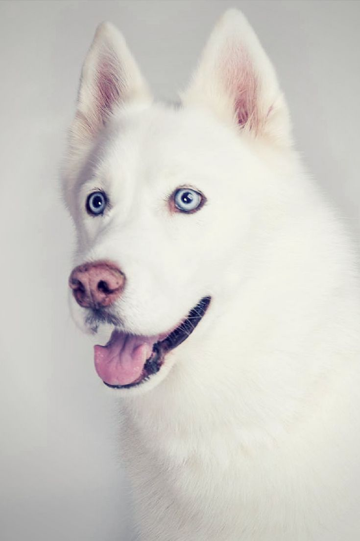 It S Kai A Siberian Husky Rescue From The Rspca Brighton Owned