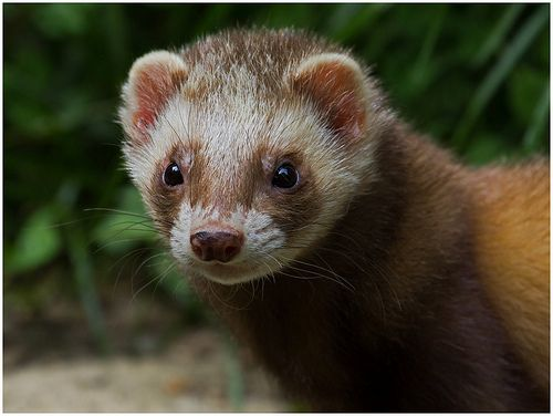 One of the ferrets