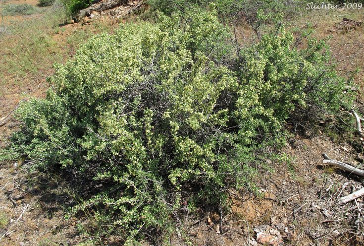 Antelope Bitterbrush, Antelope Brush, Antelope-brush, Bitterbrush: Purshia tridentata (Synonyms: Kunzia tridentate, Purshia tridentata var. tridentata, Tigarea tridentate)