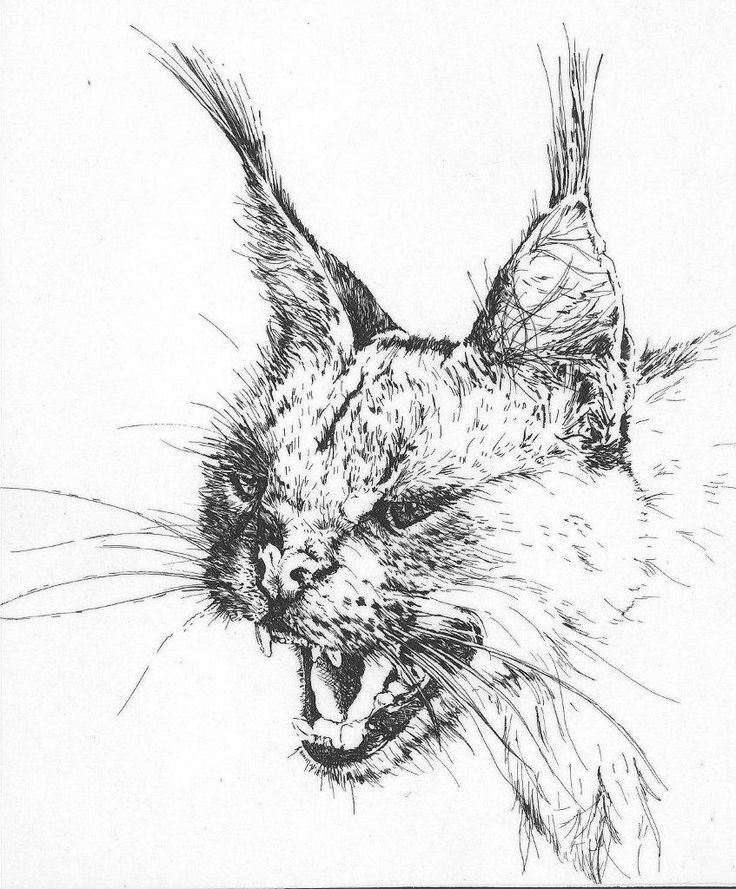 Pen and ink sketch I did back in 1985 of a caracal cat