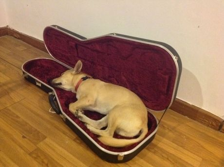 My puppy passed out in my guitar case Cute Dogs 2015 - dog pictures cute, dog breeds cute, dog names cute, dog cute gif, dog cute puppy ,dog cute wallpaper, dog cute names male, dog cute costumes. Download My puppy passed out in my guitar case images with resolution 1204x900px