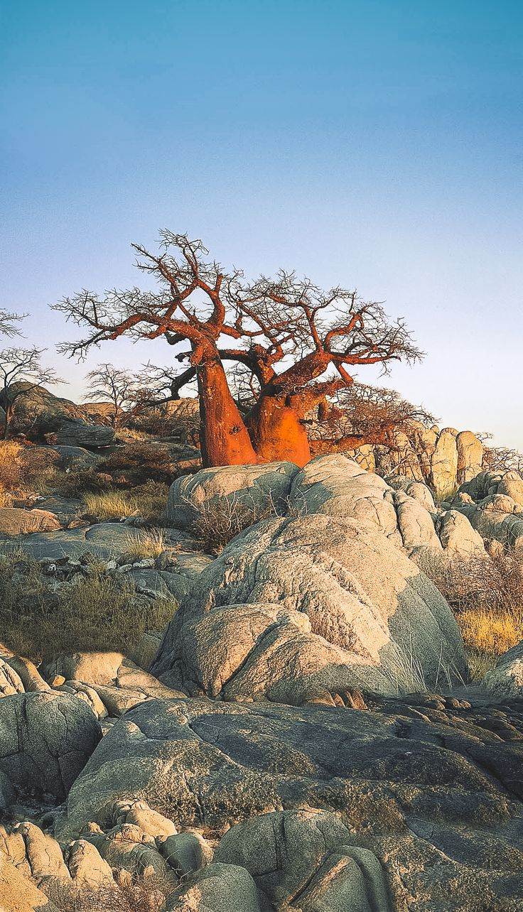 Botswana landscape Baobab Tree / Tree of Life More Pins Like This At FOSTERGINGER @ Pinterest