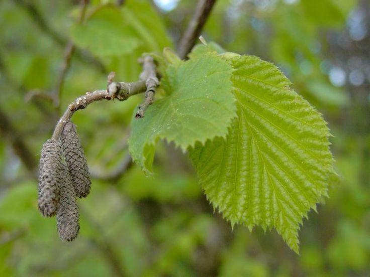 Pähkinäpensas - Corylus avellana