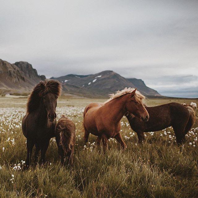 "wistfullycountry: "" James Frost | @frostyphoto. Icelandic Horses"