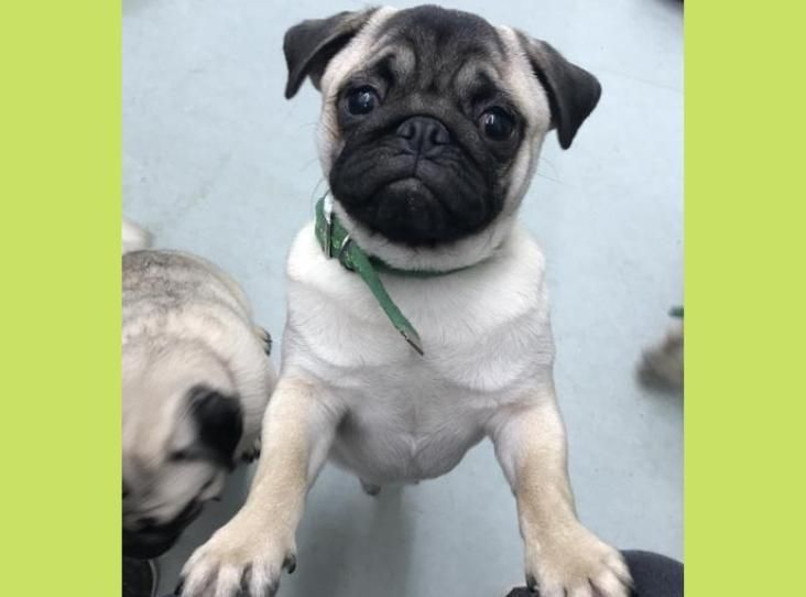 Archie And Arlo Are Our Two Incredibly Cute Cheeky Pugs They Have