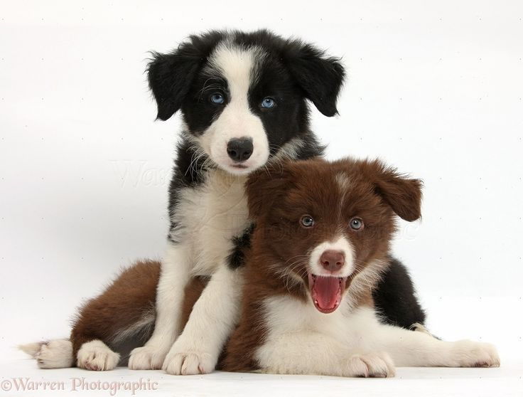 Back and white with red and white border collie puppies  – Pets and Other Animals