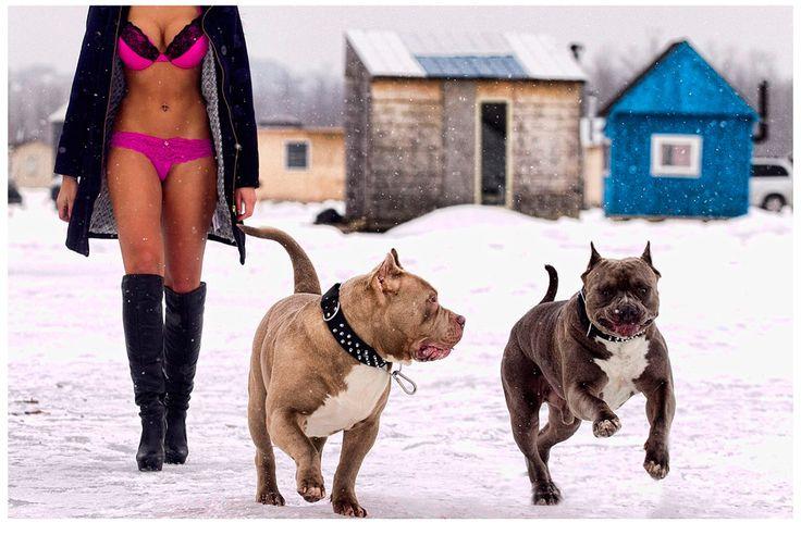 Bully Max Pitbull Video Photoshoot »