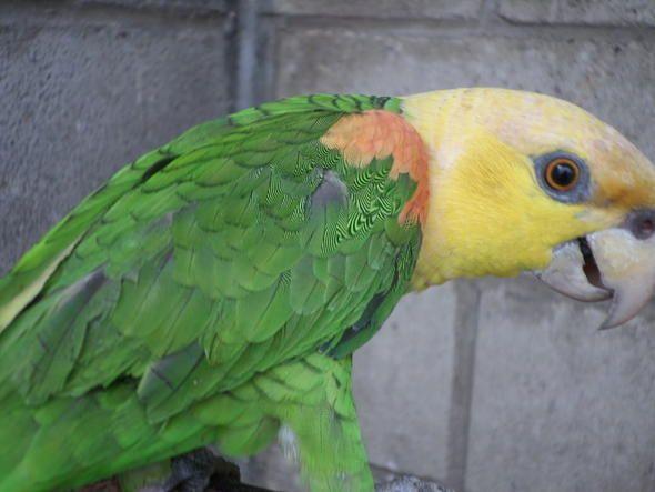 Loros Cabeza Amarilla (Ocrochephala Y Oratrix)