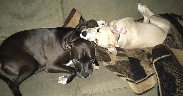 Two vicious pitbulls - Album on Imgur
